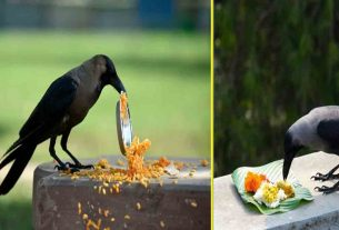 feeding crow
